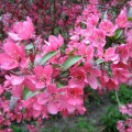 Flowering crabapple trees varieties car tuning