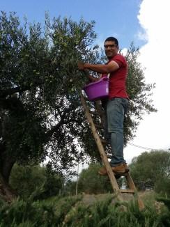 Castelvetrano Olive Harvest