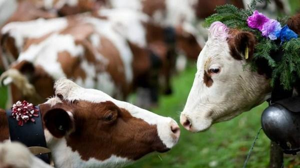 adote uma vaca