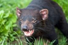 Tasmanian Devil attack