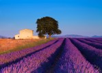 Late afternoon in lavender field (Provence,France)