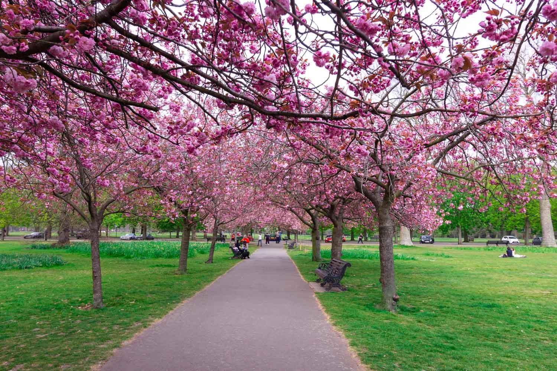 Greenwich Park cherry blossom locations