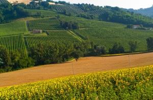 121983584-Vineyards in Marche