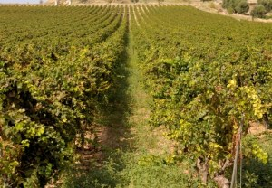 177523568-Puglian vineyard