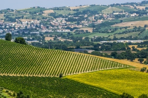 177870262-Vineyards near Ancona, Marche