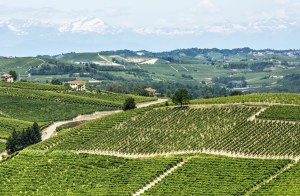 181421750-Langhe hills and vineyards