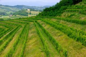 188007510-Hillside vineyard in Alto Adige