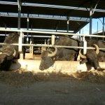 ヴァンヌーロの水牛さん