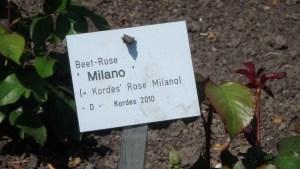 Beetrose Milano im Dortmunder Westfalenpark