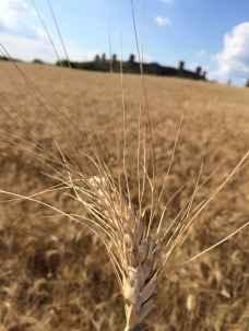 Monteriggioni, Spiga di grano nei campi