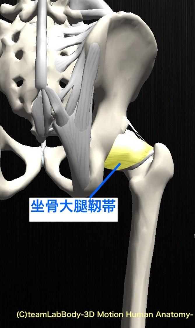 坐骨大腿靱帯