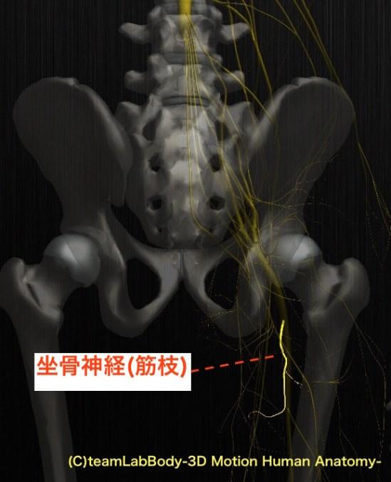 坐骨神経 筋枝