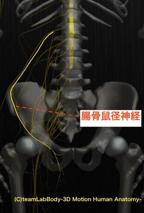 腸骨鼠径神経