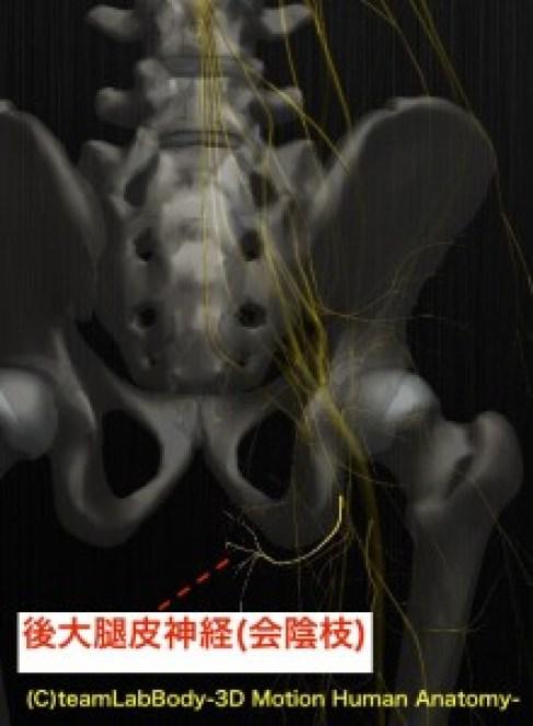 後大腿皮神経 会陰枝