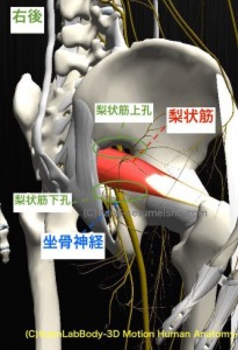坐骨神経 梨状筋