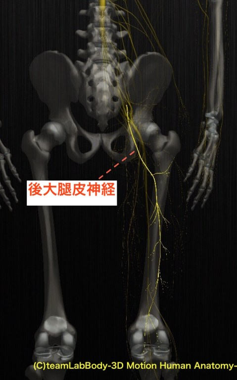 後大腿皮神経