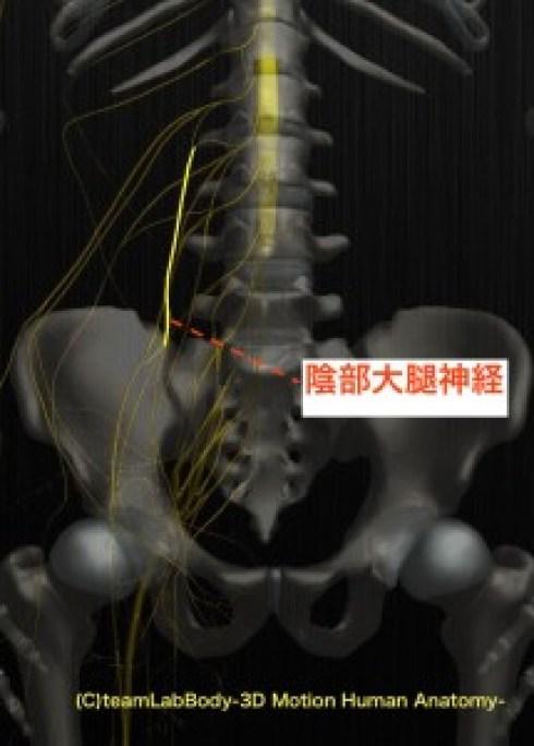 陰部大腿神経