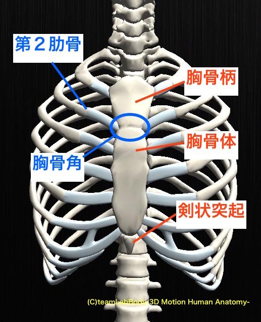 胸郭の構造とは?!肋骨や胸骨についてもご紹介!   一寸先は ...