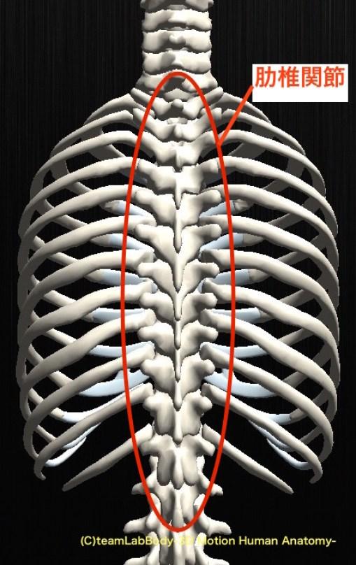 「肋椎関節」の画像検索結果