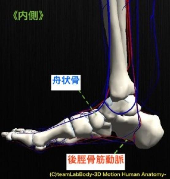 後脛骨筋動脈