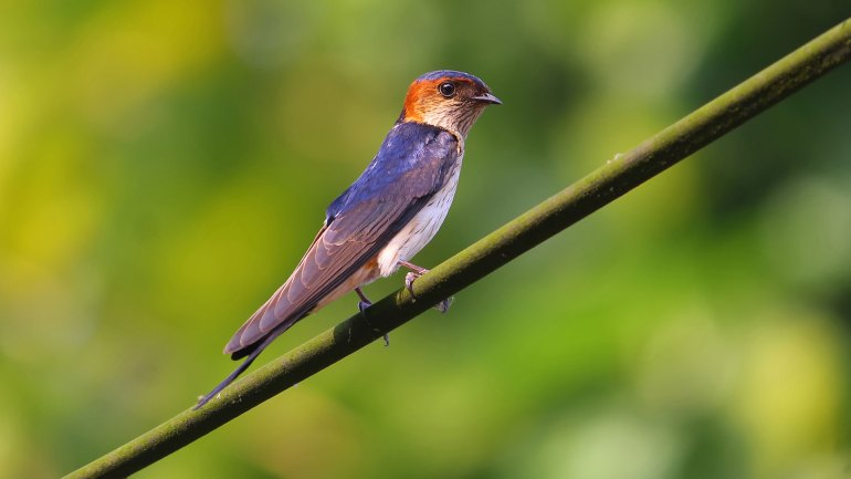 Red Rumped Swallow Bird, Narayana Kili, നാരായണ കിളി, നാരായണക്കിളി, Birds of Kerala, Kerala Birds, Narayakkili