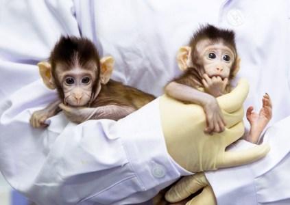 Учёные впервые смогли успешно клонировать обезьян