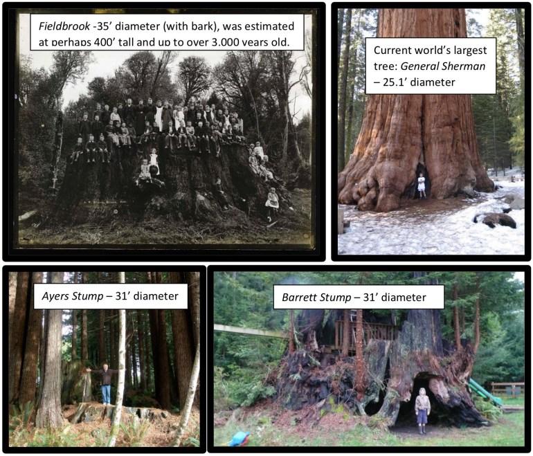 Американские экоактивисты высадили секвойи, ДНК которых было клонировано из древних пней
