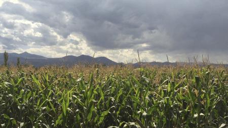 ИИ-селекция снизит зависимость фермеров от ГМ-культур