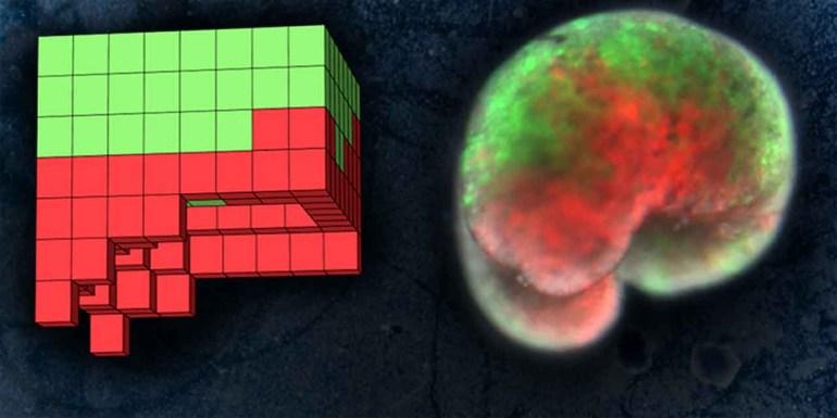 Созданы первые в мире роботы полностью из живых клеток