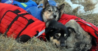 Jeff King's dogs resting in Unalakleet