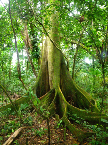 Many of the tall trees in a rainforest shoot straight up and only have branches and leaves near the very top. Tropical Rainforest And Canopy Ecology Institute For Tropical Ecology And Conservation