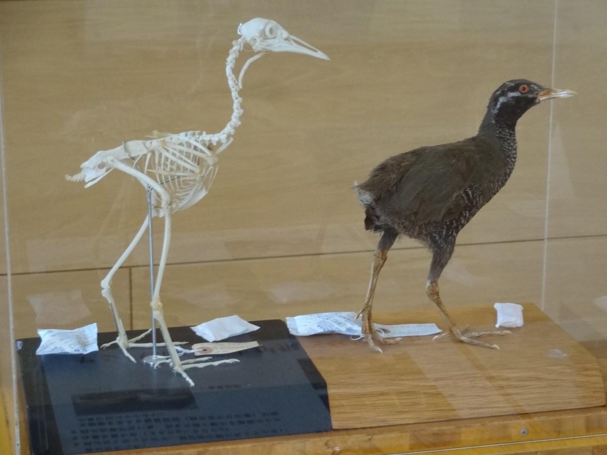 ヤンバルクイナの骨格標本