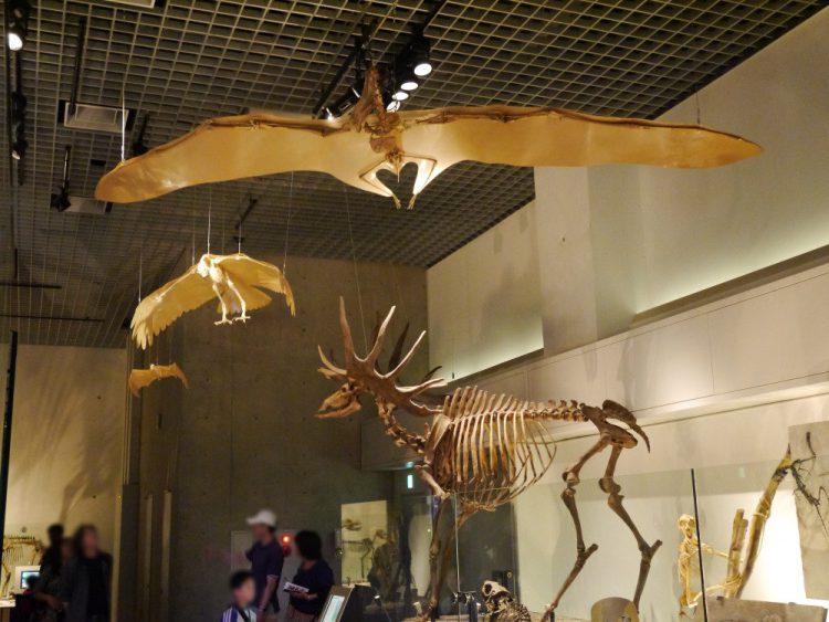 白亜紀の翼竜アンハングエラ