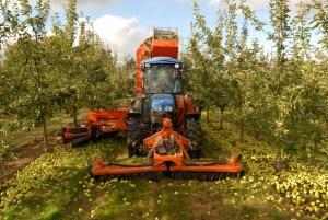 Apple Harvest at Weston