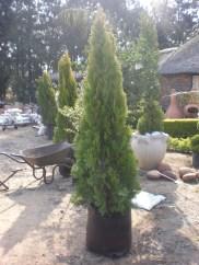 BDay Tree