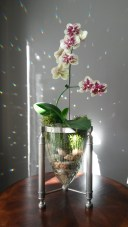 Starlight Orchids