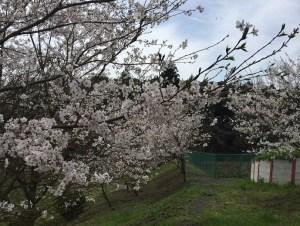 いちごの杜_桜_お花見