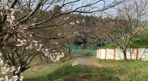 桜並木_お花見_千葉