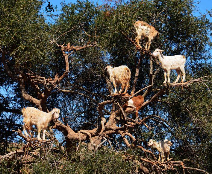 Les chèvres montaent aisément dans l'arbre