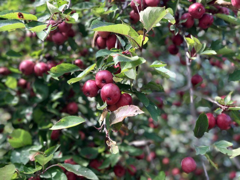 Apples? Pomegranates?