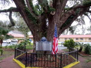 600 Year Old Tree - St. Augustine