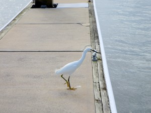 Snowy Egret on the Dock
