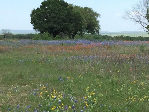 Wildflowers in Texas