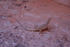 Small Spotted Leopard lizard, Escalante