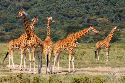 A large group of giraffes seen in a safari in Nakuru Lake