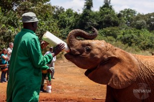 Baby elephant being fed with the bottle