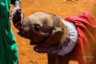 Baby elephant and his keeper at the David Sheldrick Wildlife Trust in Nairobi