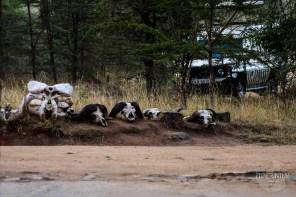 Buffalo skulls close to the entrance at Masai Mara National Reserve
