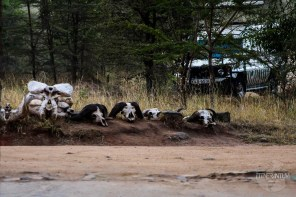 Buffalo skulls close to the entrance at Masai Mara National Reserve