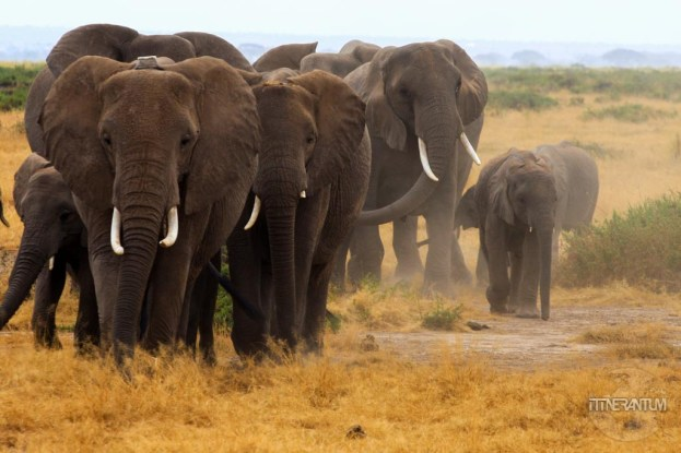Elephant herd at Amboseli, Kenya